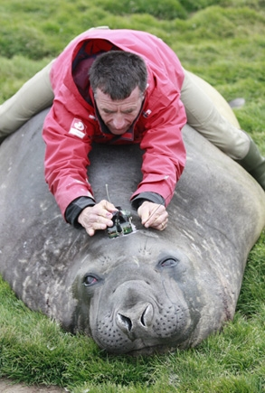 Christophe Guinet performs a fine balancing act straddling an elephant seal as he fits an Argos transmitter on its head. Credits: CNRS/CEBC.