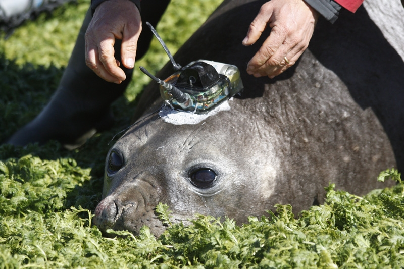 An Argos transmitter is bonded to the animal's head using a quick-setting resin. Credits: CNRS-CEBC/SEaOS.